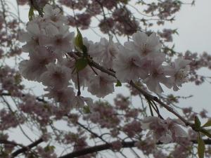 持ちこたえている桜